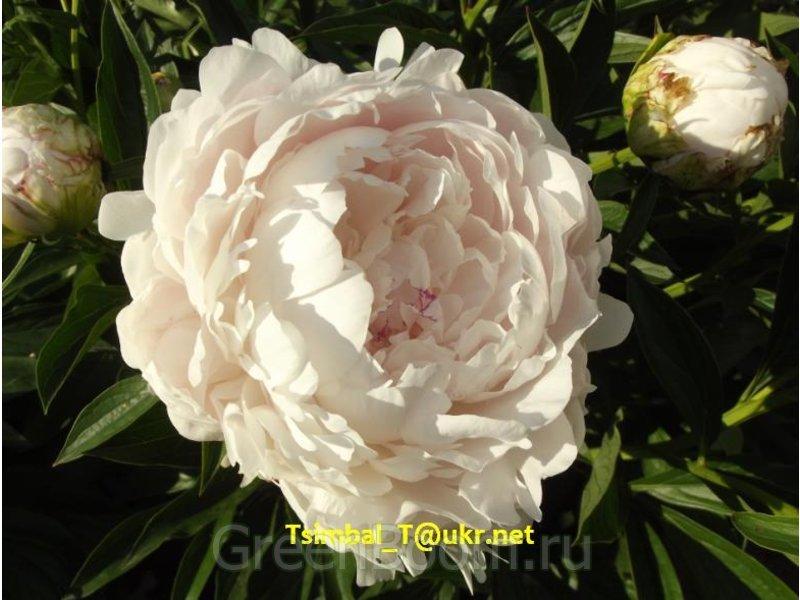 Paeonia sp. (Пион) / Безымянный_розовый