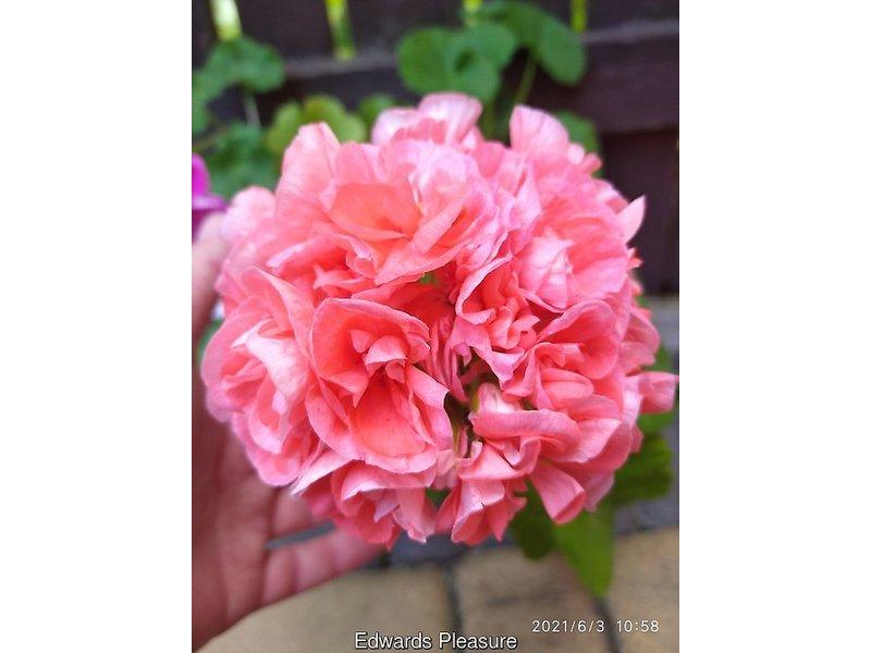Pelargonium zonale (Пеларгония зональная) / Edwards Pleasure