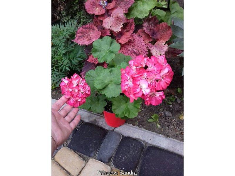 Pelargonium zonale (Пеларгония зональная) / Princess Sandra