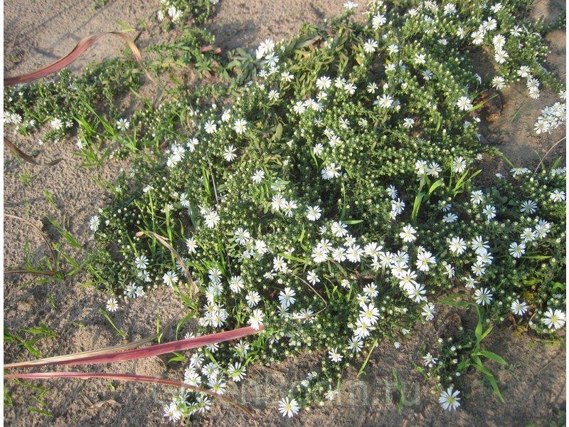 Клубнику сажают осенью весной