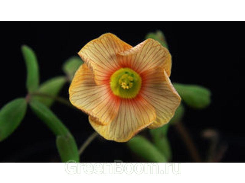 Oxalis obtusa (Кислица притупленная) / Elizabeth