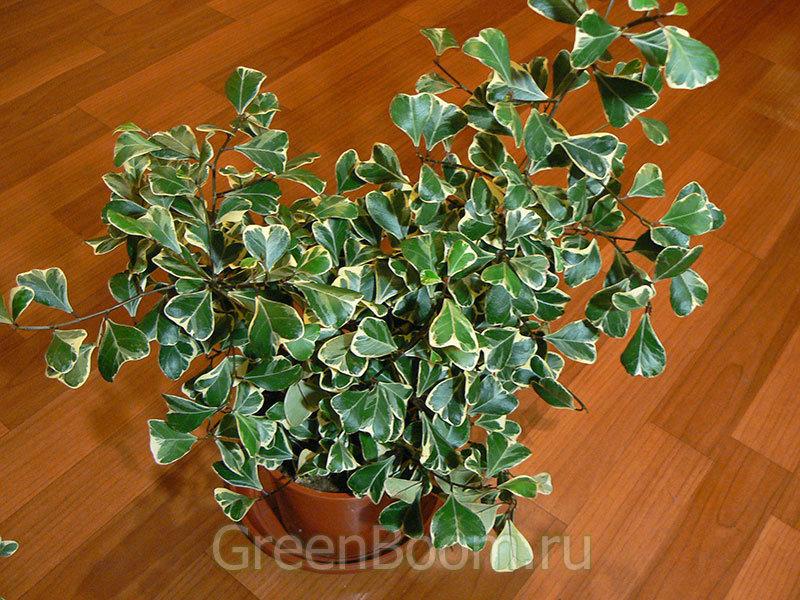 Ficus triangularis (Фикус треугольный) / White Margin