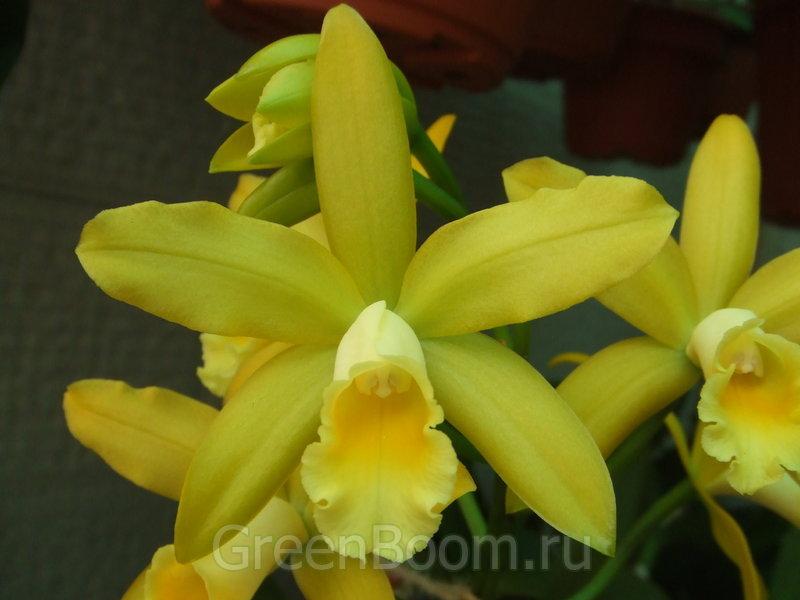 Орхидеи домашние в горшке Уход в домашних условиях