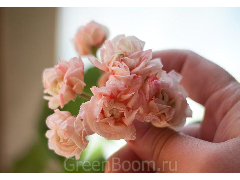Pelargonium zonale (Пеларгония зональная) / Denise