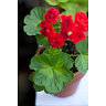 Pelargonium zonale (Пеларгония зональная) / Summer Rose Tina