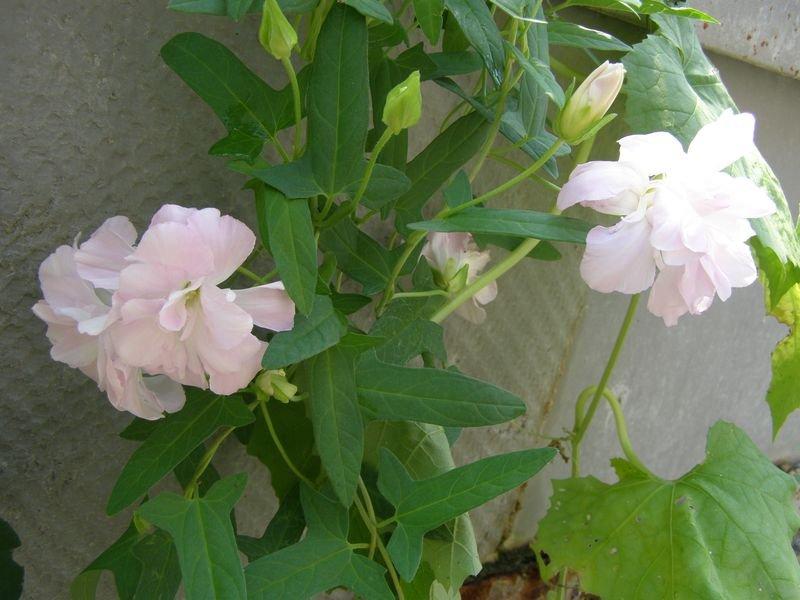 Калистегия выращивание и уход фото 54