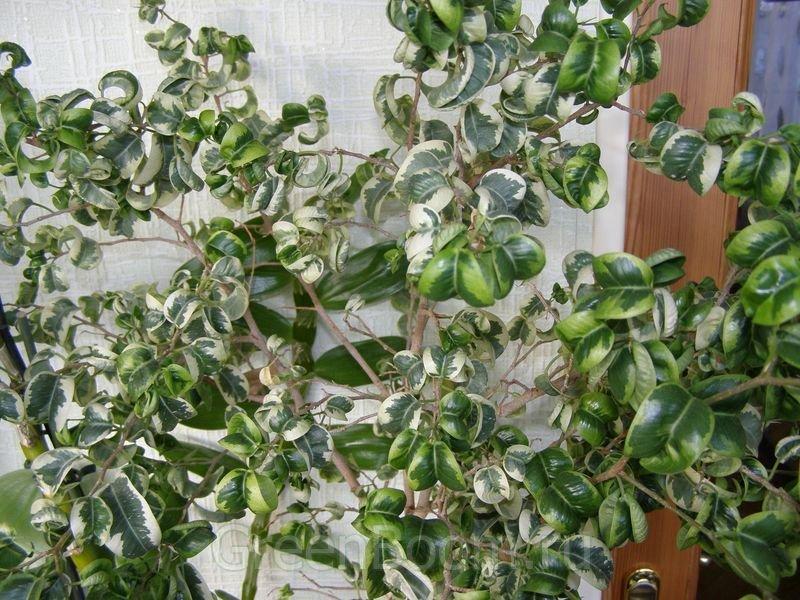 Выращивание фикуса пестролистного 99