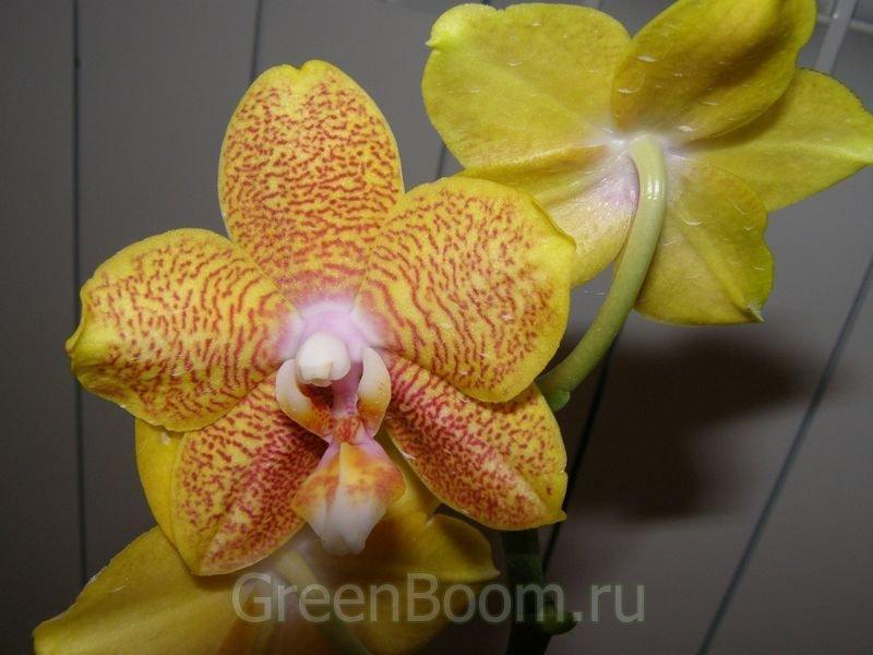 Phalaenopsis (Phal.) / _hybrid