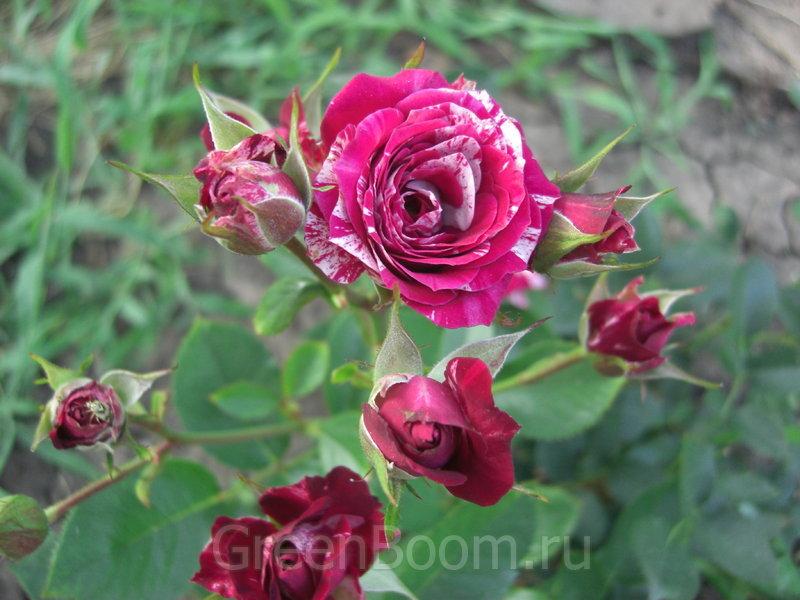 Выращивание розы спрей 32