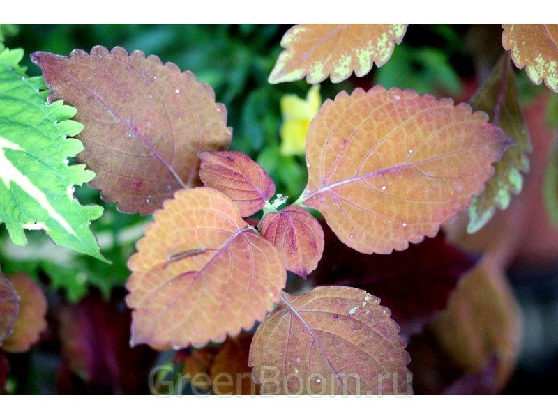 Coleus x hybridus (Колеус гибридный) / Гибридный