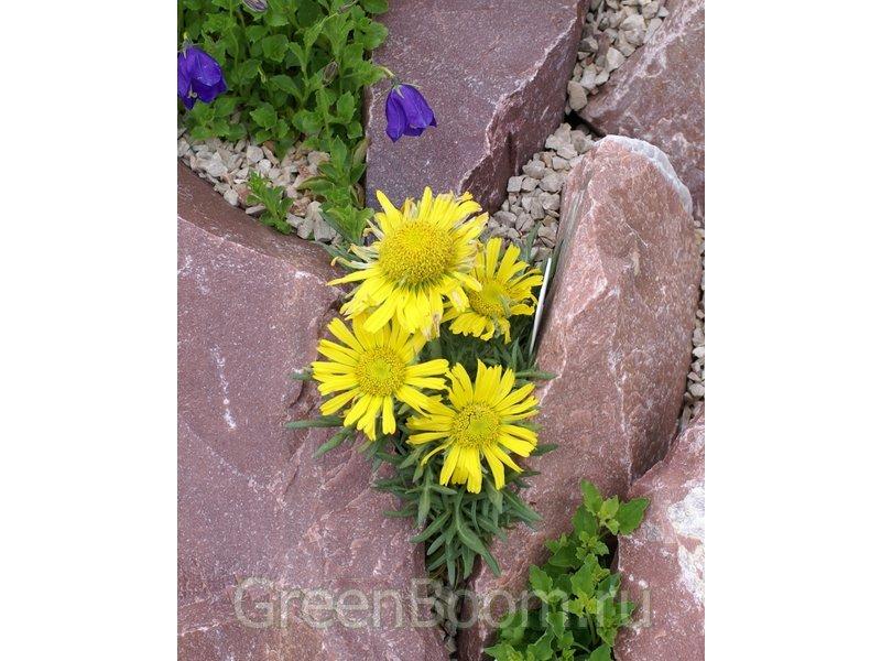 Hymenoxys grandiflora (Гименоксис крупноцветковый) / Гибридный