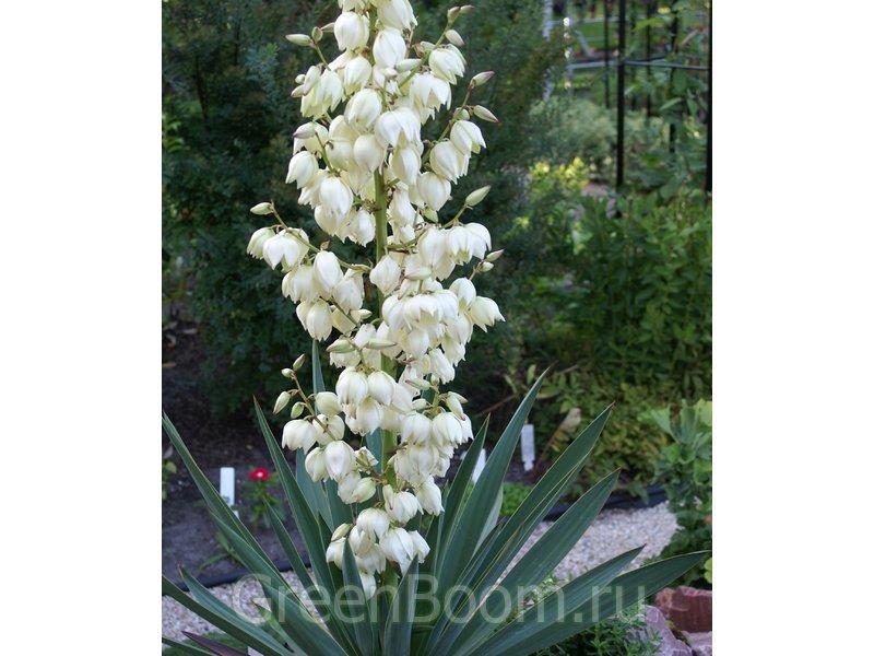 Yucca gloriosa (Юкка славная) / Видовая