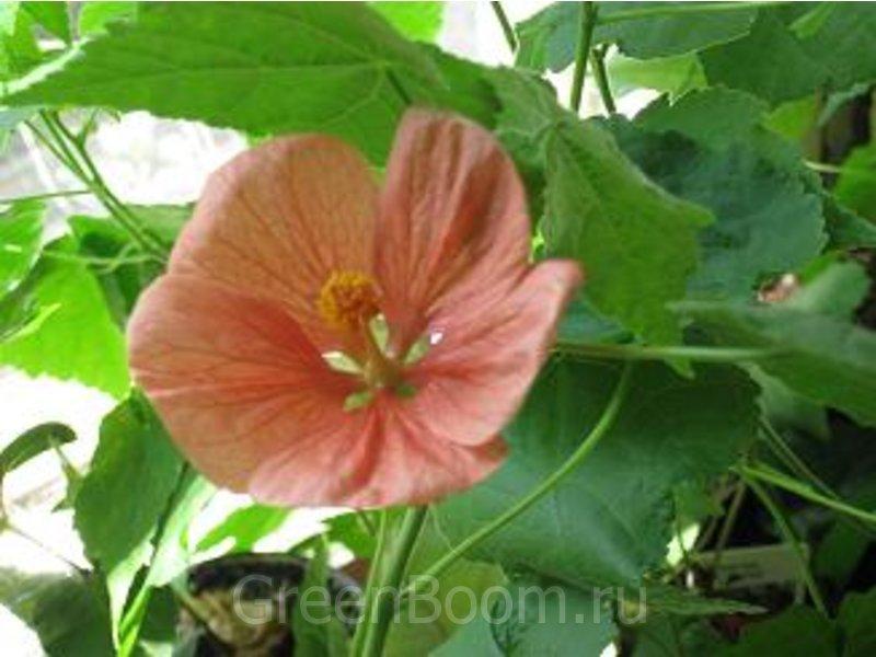 Abutilon hybridum (Абутилон гибридный) / Безымянный оранжевый