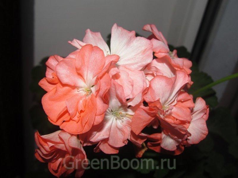 Pelargonium zonale (Пеларгония зональная) / Shimmer
