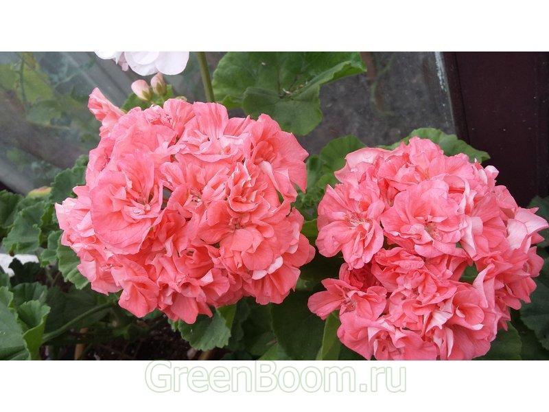Pelargonium zonale (Пеларгония зональная) / Vina