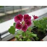 Pelargonium angeleyes (Пеларгония-ангел) / Безымянная