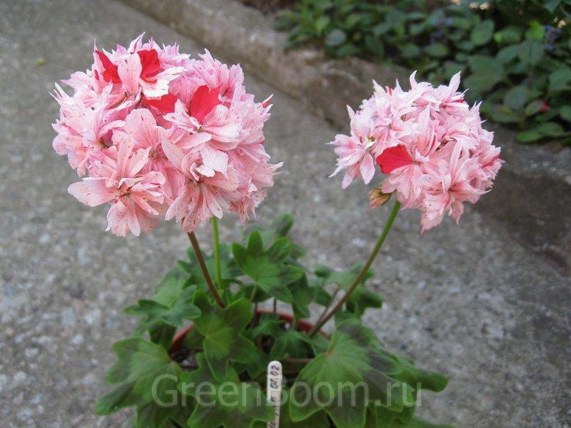 Цветы для балкона  купить в Киеве