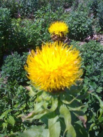 Василек многолетний крупноцветковый