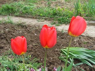 Продам садовые цветы. 0078168001366651266