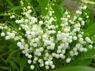 Продам садовые цветы. 0249870001366303723