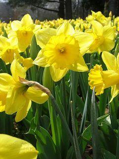 Продам садовые цветы. 0278085001366303472