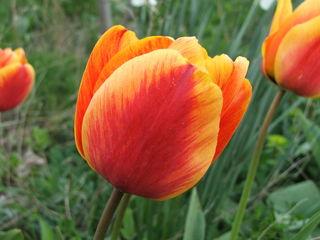 Продам садовые цветы. 0446546001366651352